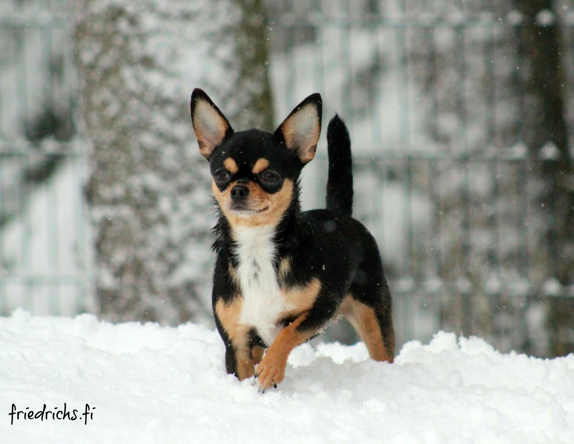 Chihuahua Kisu